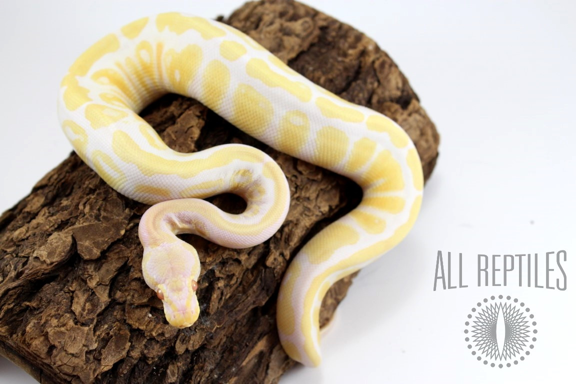 Pastel Albino Yellow Belly Ball Python