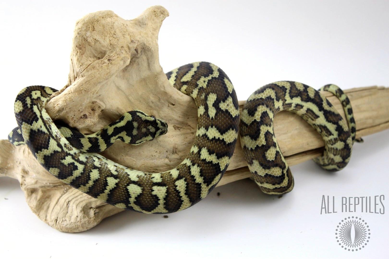 Jungle X Irian Jaya Carpet Python