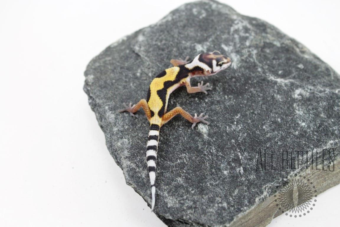 Lavendar Super Giant Leopard Gecko