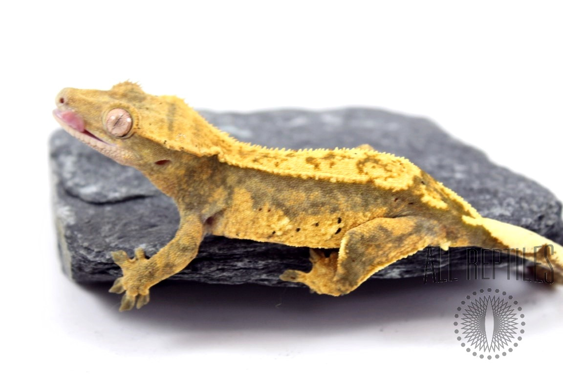 Super Harlequin Partial Pinstripe Crested Gecko
