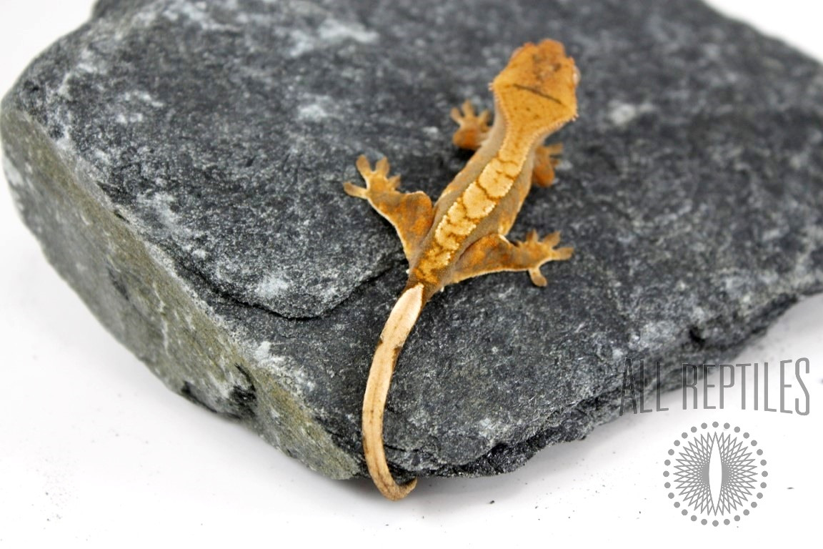 Chevron Backed Crested Gecko