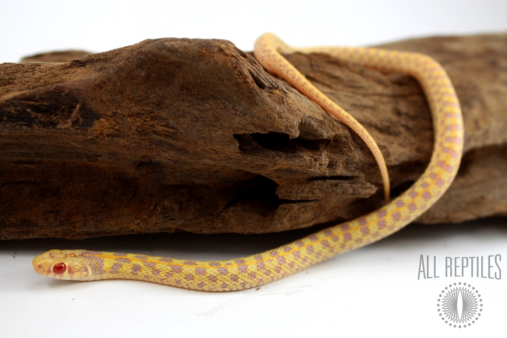 Albino Texas Checkered Garter Snake