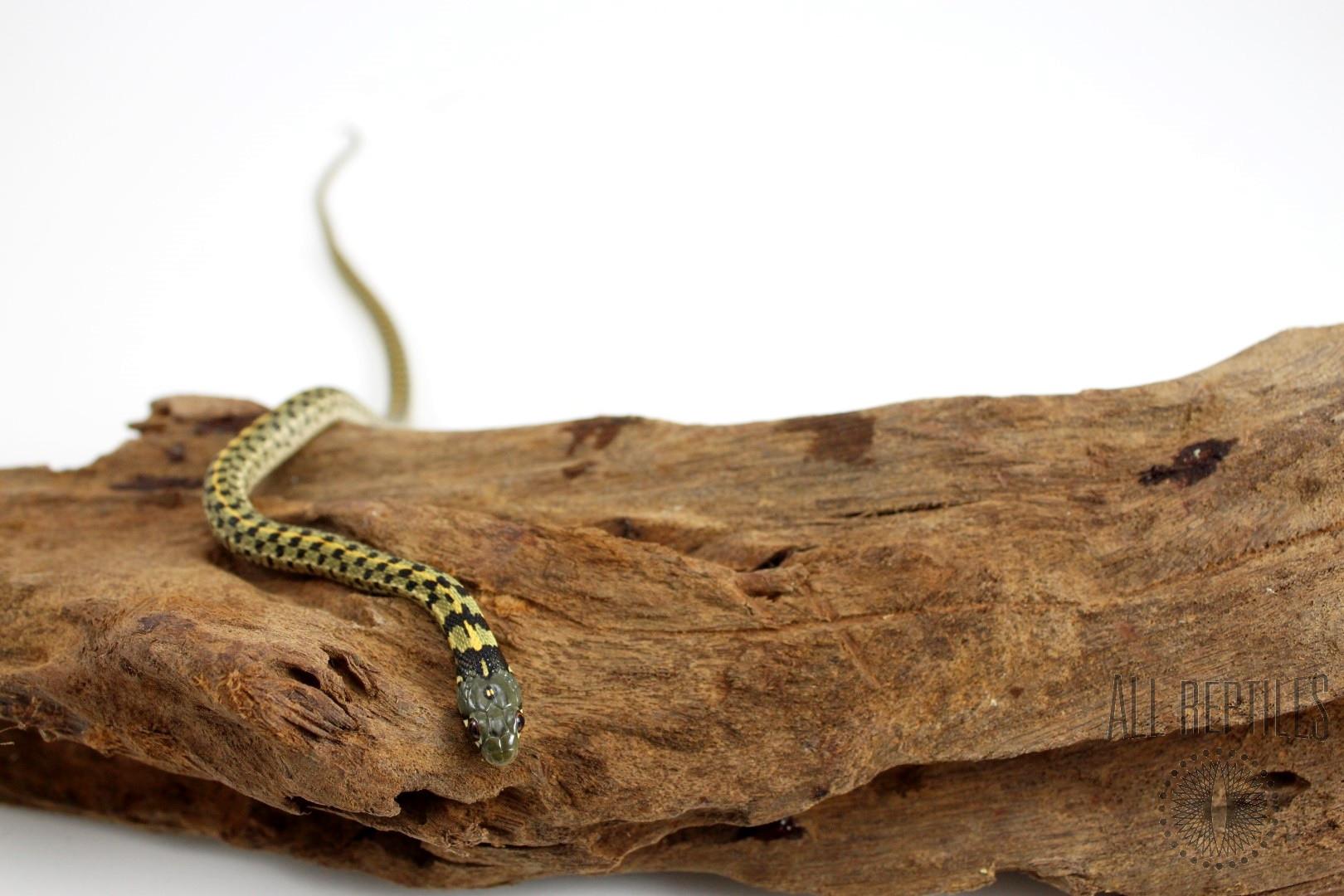 Texas Checkered Garter Snake