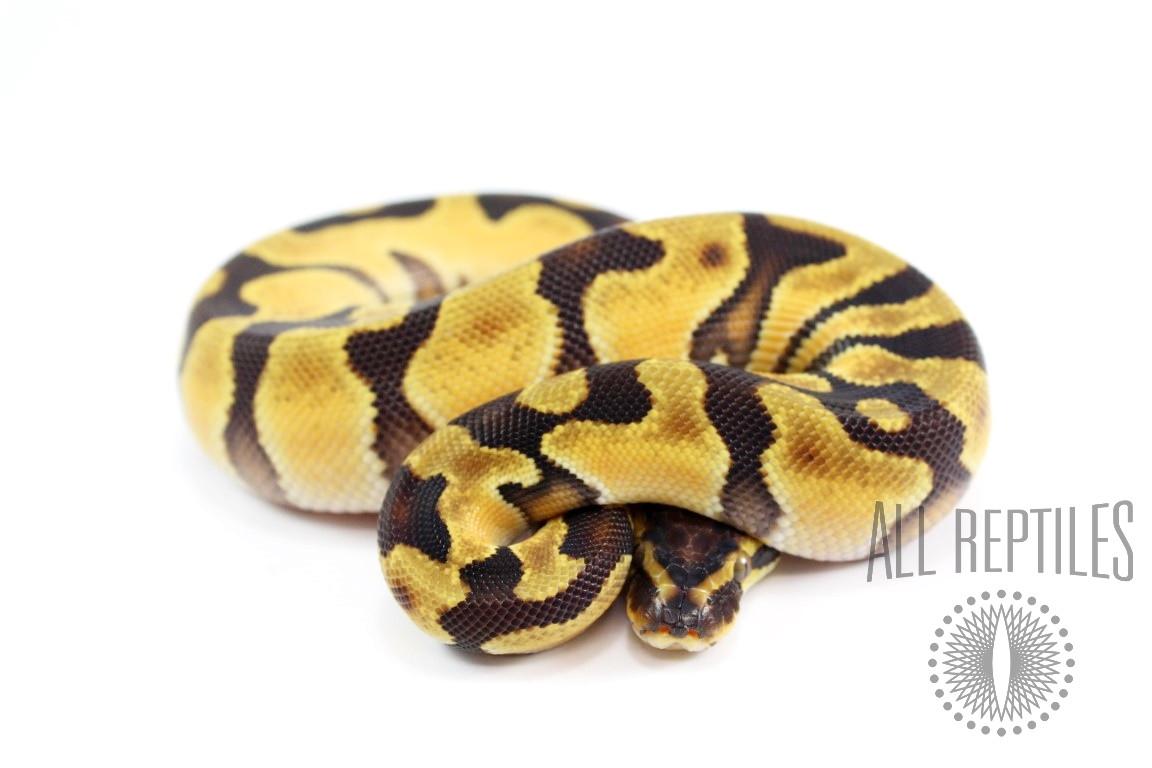Orange Dream Enchi Ball Python
