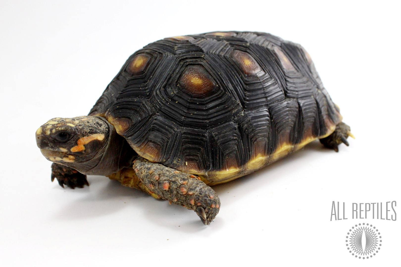 5 YRS Red Foot Tortoise