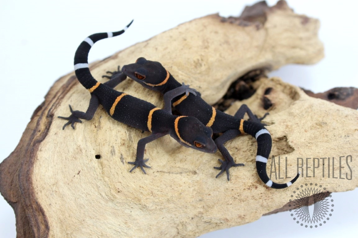 CB Baby Chinese Cave Gecko