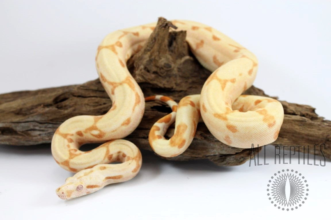 Arabesque Sunglow Colombian Boa