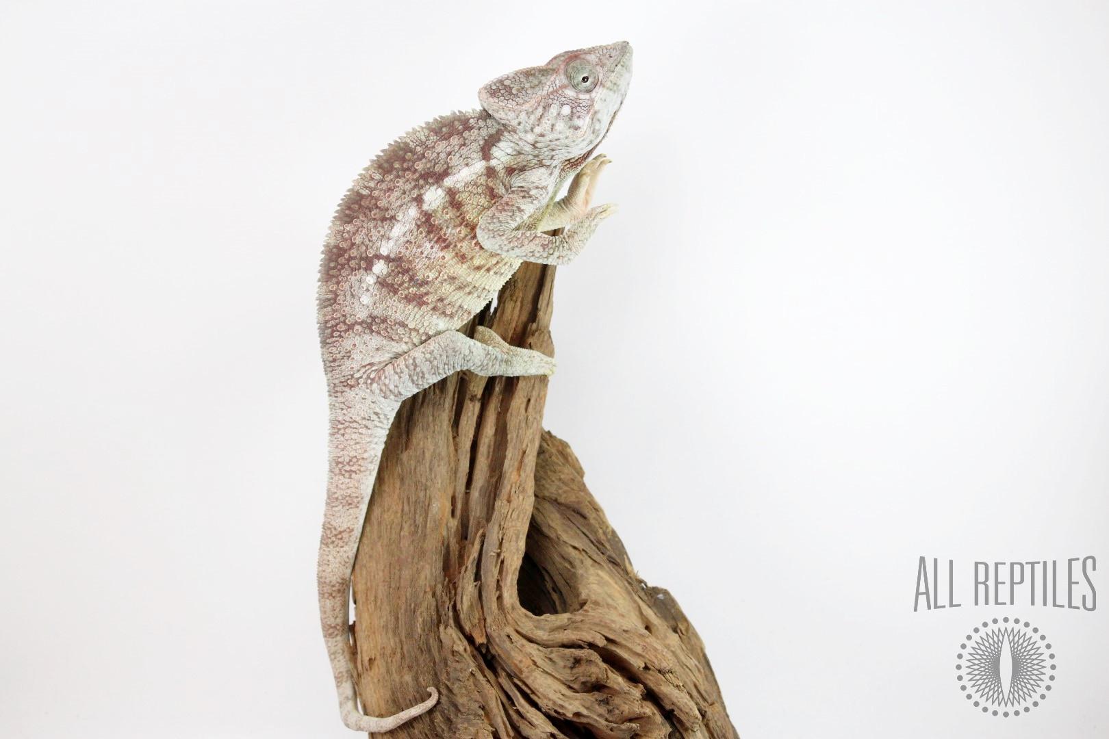 Giant Malagasy Chameleon