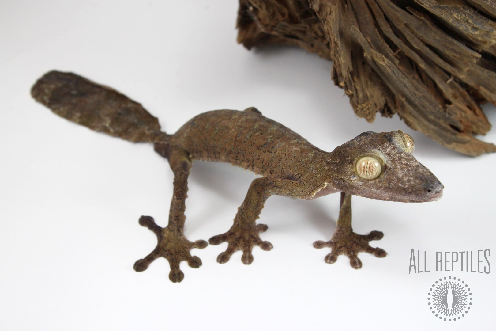 Fimbriatus Leaf Tail Gecko