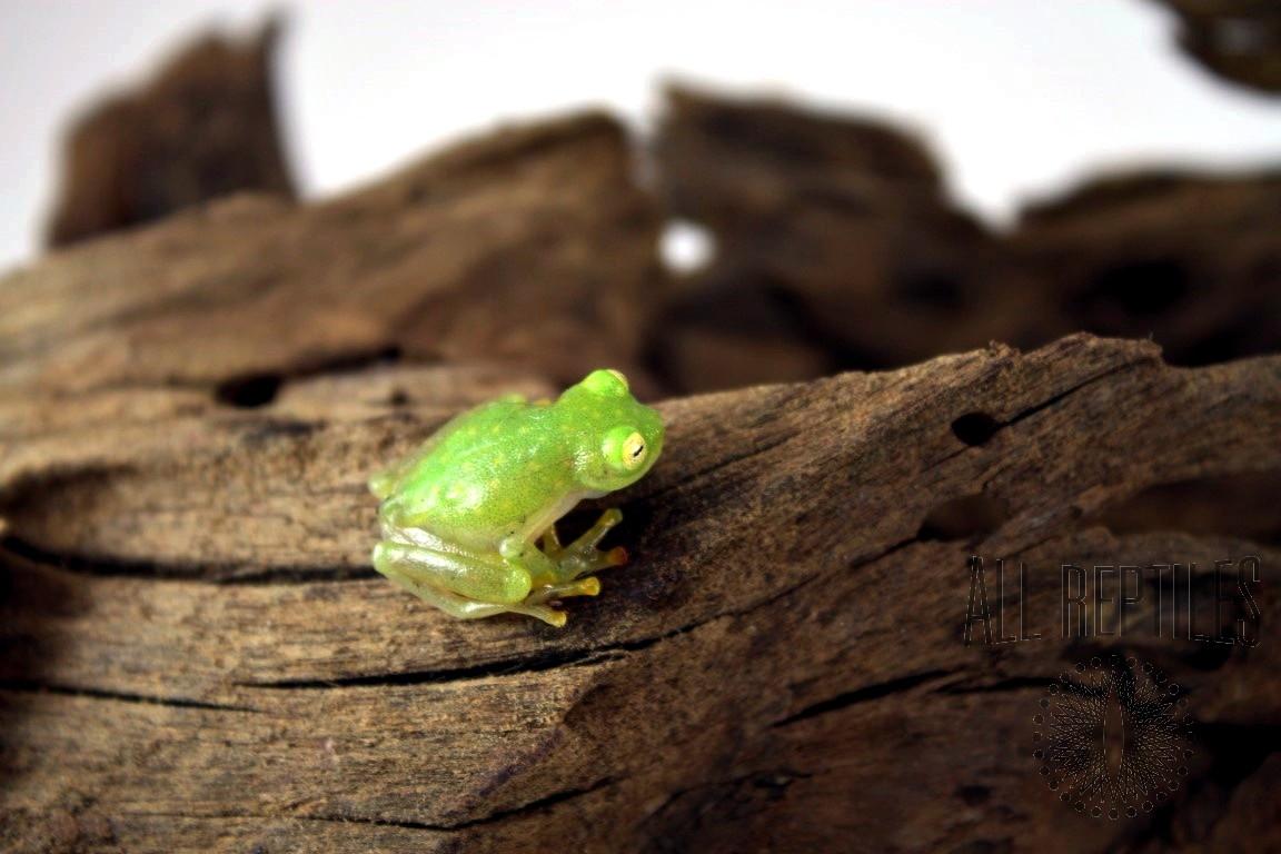 Northern Glass Frog
