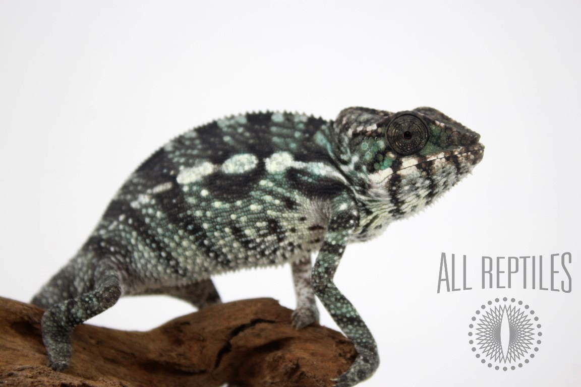 Nosy Mitsio Panther Chameleon