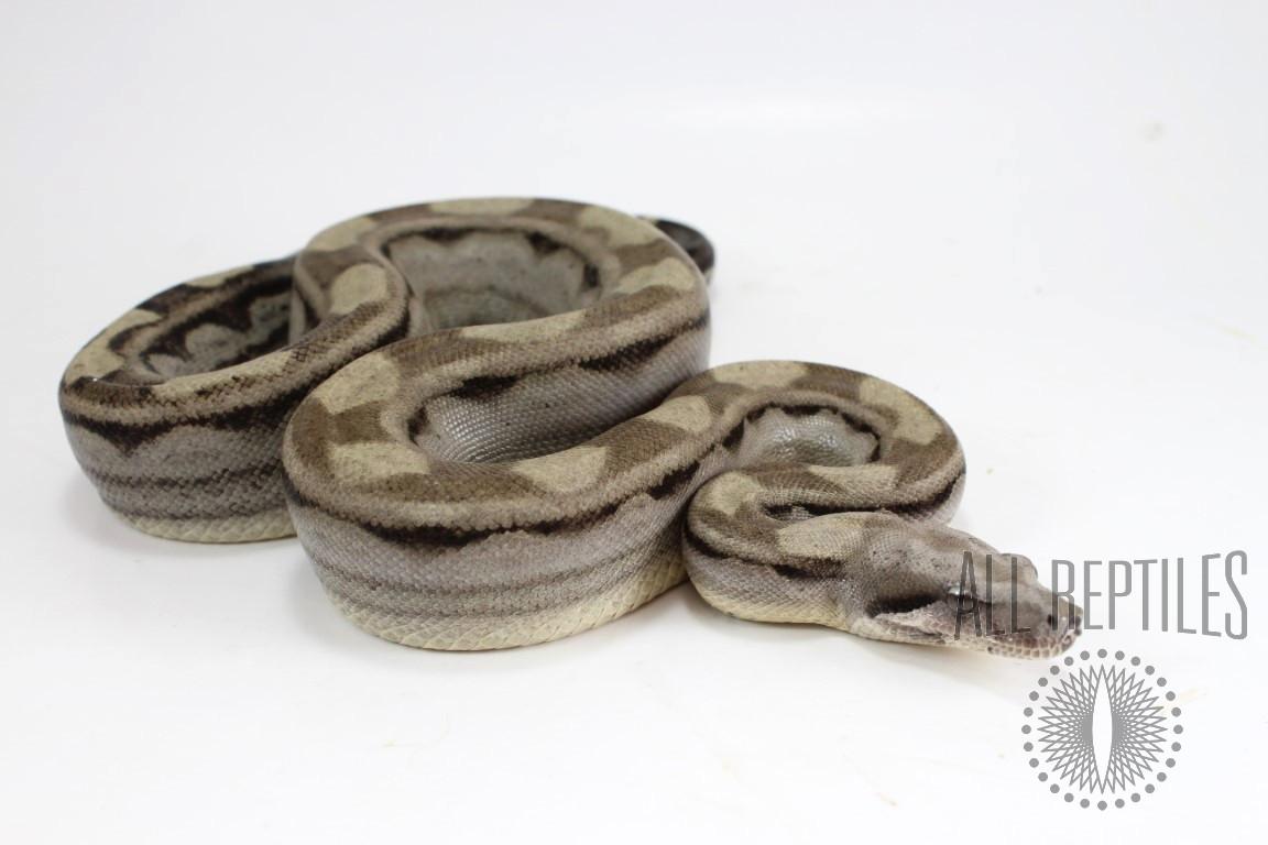 Anery Motley Colombian Boa