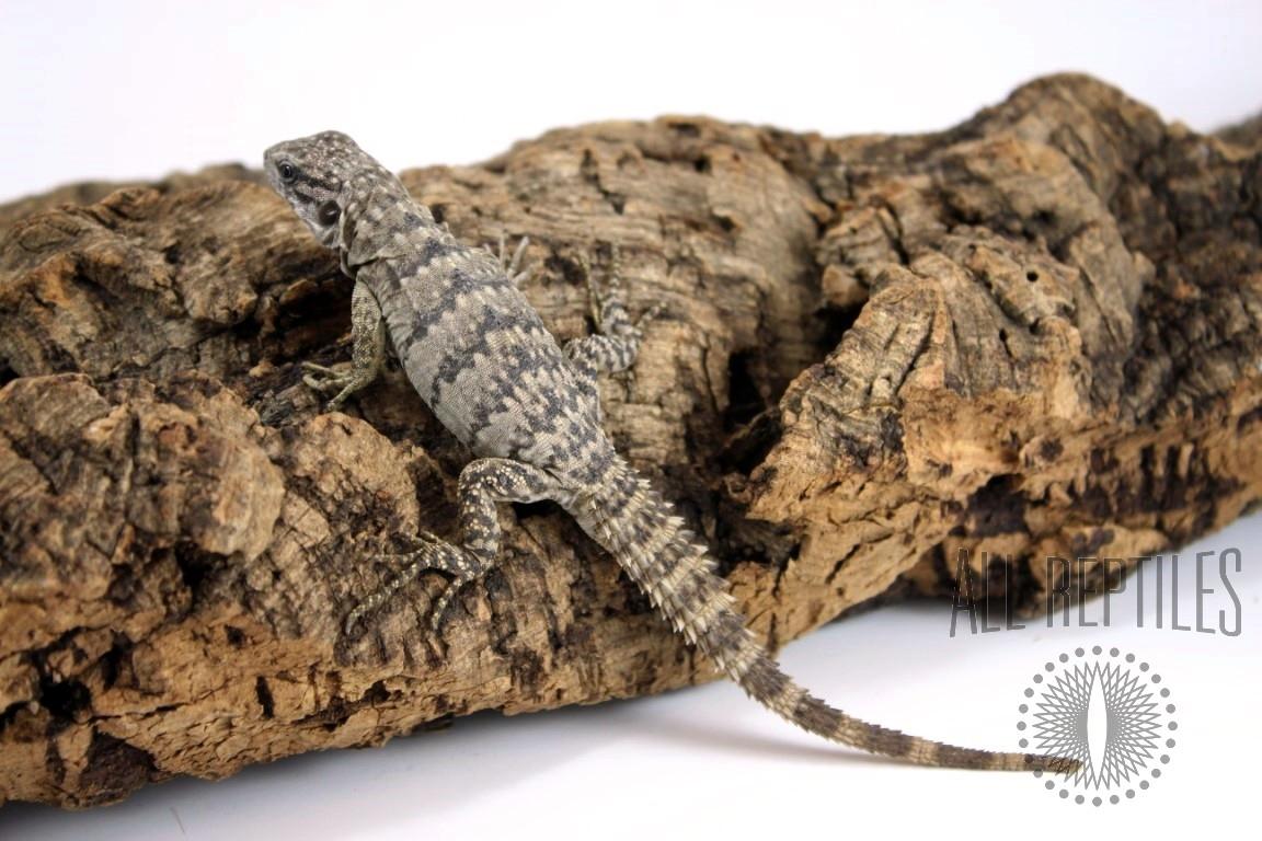 Spiny Tailed (Clubtailed) Iguana