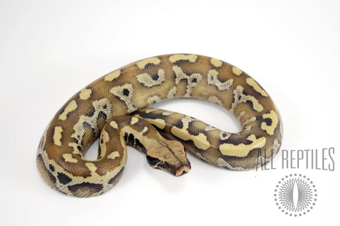 Bangka Red Blood Python