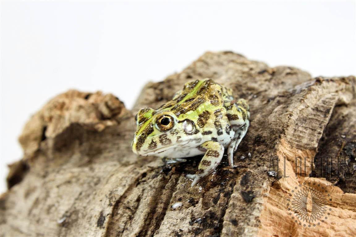 CB Baby Pixie Frogs