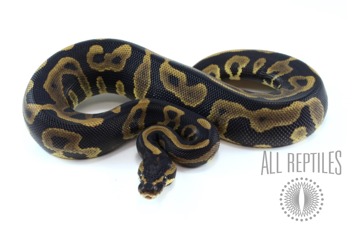 Leopard Yellow Belly Ball Python