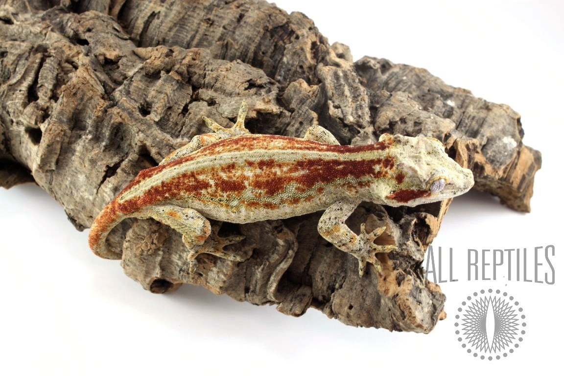 Adult Female Gargoyle Gecko - Red Striped