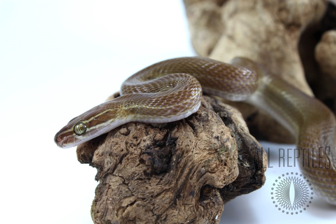 Striped African House Snake