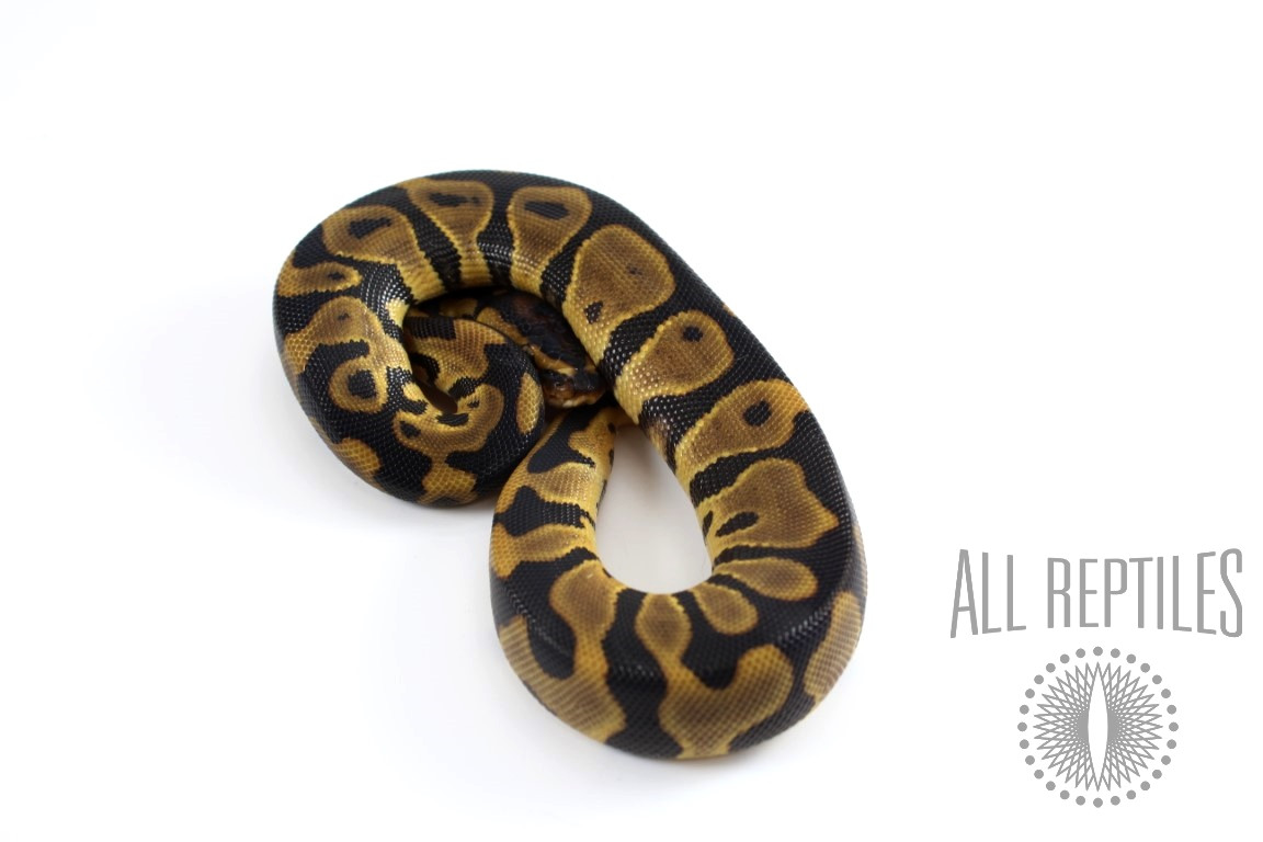 Leopard Blade Het Clown Ball Python