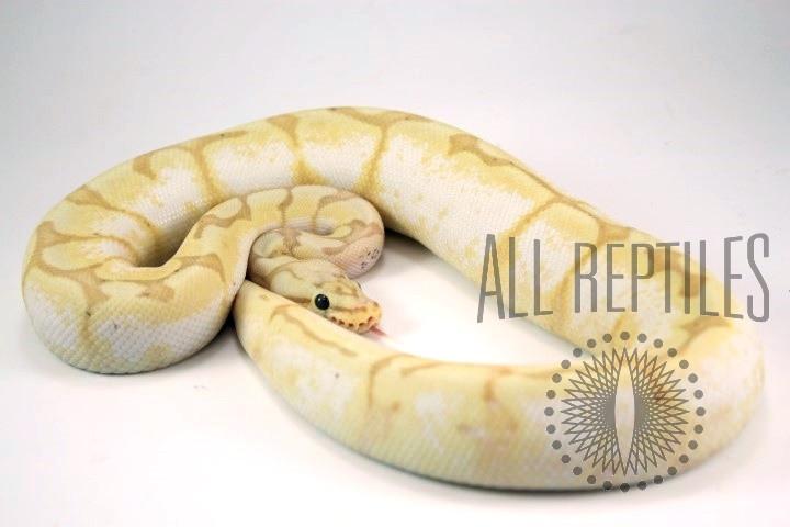 Banana Calibee Het Pied Ball Python