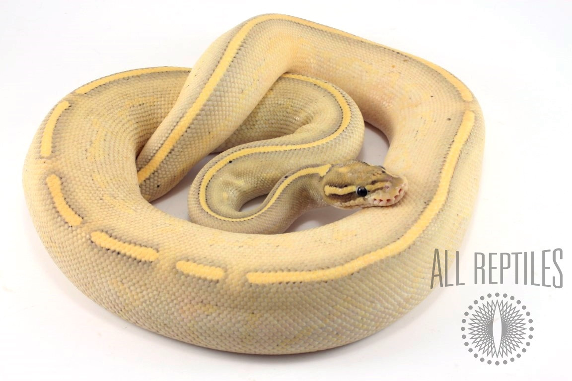 Lesser Freeway Ball Python