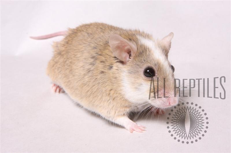 Live African Soft Fur Rats