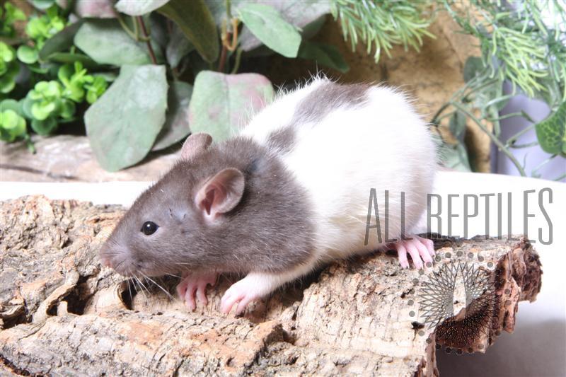 Live Rats