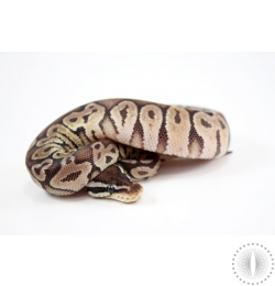 Black Pewter Yellow Belly Ball Python