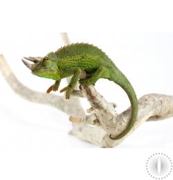 Yellow Crested Jackson's Chameleon