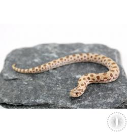 Anaconda Hognose Snake