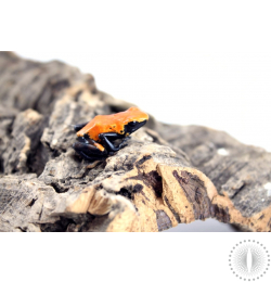 Orange Galact Dart Frog