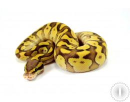 Pastel Enchi Mojave Fire Ball Python