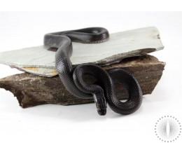 African House Snake - Black Phase