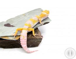 Tremper Godzilla Super Giant Leopard Gecko