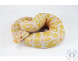 Pastel Albino Gravel/Asphalt Ball Python