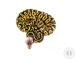 Pastel Orange Ghost Mahogany Ball Python