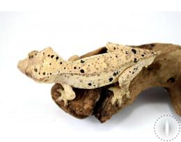 Tailess Super Dalmatian Crested Gecko