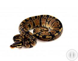 Yellow Belly / Asphalt Ball Python