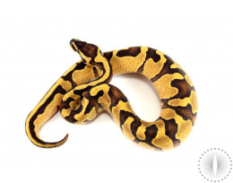 Enchi Fire het Pied Ball Python