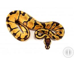 Orange Dream Enchi het Pied Ball Python