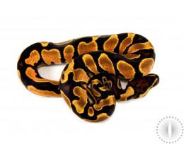 Orange Dream Yellow Belly het Pied Ball Python