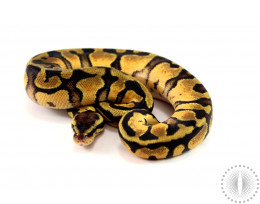 Pastel Yellow Belly Het Pied Ball Python