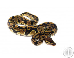 Double Het Clown/Pied Ball Python