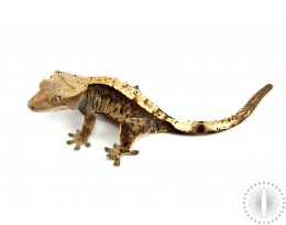 Harlequin Dalmatian Crested Gecko