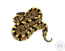 Double Het Red Axanthic/Pied Ball Python