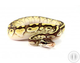 Pastel Lesser Ball Python