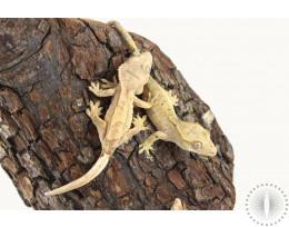Assorted Normal Crested Geckos