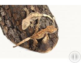 Lower End Harlequin Crested Geckos