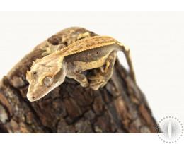 Peach Pinstripe Harlequin Crested Gecko