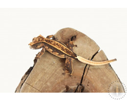 Chocolate Pinstripe Extreme Harlequin Crested Gecko